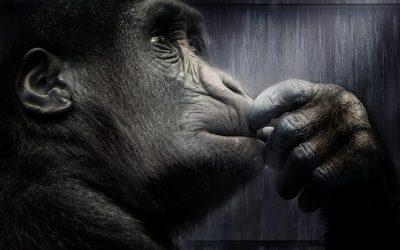 Gorillas Endangered