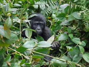 Gorillas in forests and swamps.