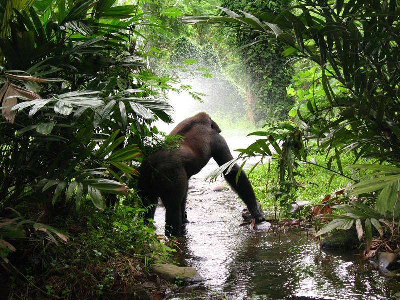 Gorilla Habitat