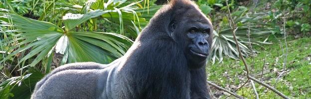 Imágenes de Gorilas