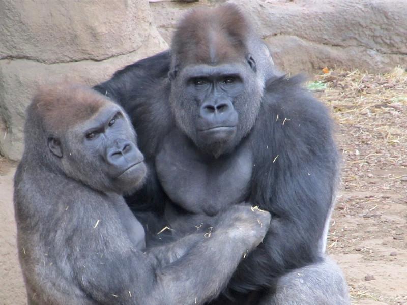 Investigación sobre Gorilas