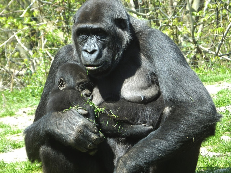 Gorilla reproduction.