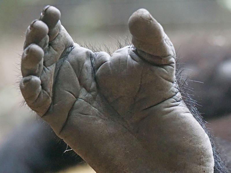 Características anatómicas de los gorilas.
