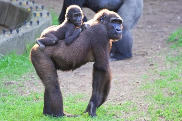 Reproducción de los gorilas.