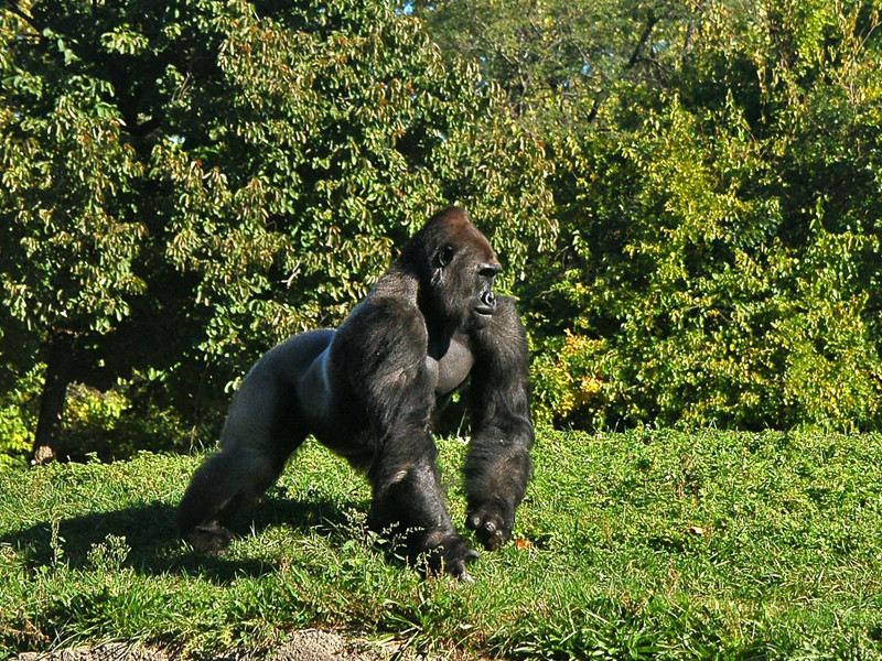 Gorillas and their social behavior.