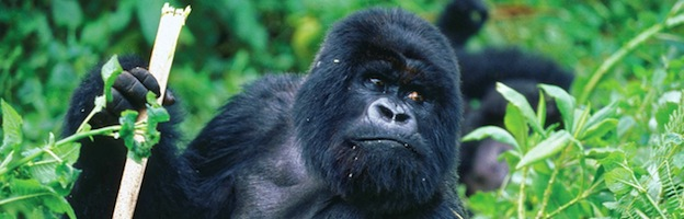Vídeos de Gorilas